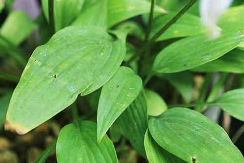 イワギボウシの葉